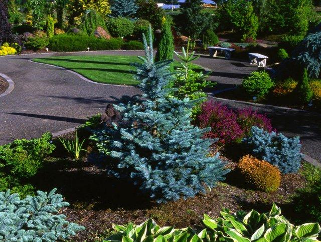 Голубая ель в ландшафтном дизайне